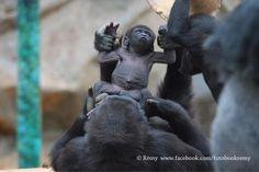 Gorille - Zoo de Beauval - Loire Valley - France
