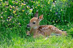 White-tailed deer,fawn, Odocoileus virginianus, spring meadow, wildflowers, Minnesota, USA,young resting on meadow captive