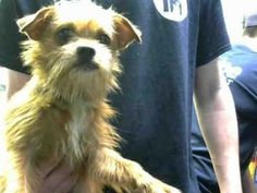 Check out Charlie's profile on AllPaws.com and help him get adopted! Charlie is an adorable Dog that needs a new home. https://www.allpaws.com/adopt-a-dog/brussels-griffon/7882317?social_ref=pinterest #adoptionhelp