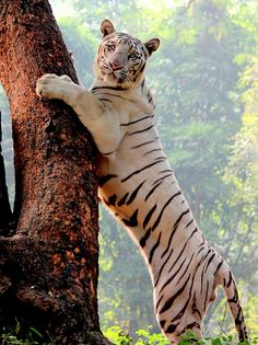 ~~I look better in this Pose.. ~ White Tiger by Ali-Arsh~~