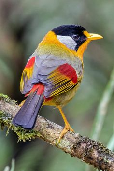 Silver Eared Mesia by Andrea Marrucci Tropical Birds, Exotic Birds, Colorful Birds, Exotic Pets, Cute Birds, Pretty Birds, Small Birds, Cute Baby Animals, Animals And Pets