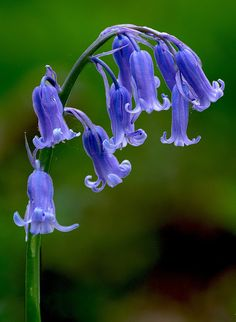 It's tempting to pick wild flowers, such as bluebells, in the UK countryside. But, removing them from forbidden land could cost you a fine (or imprisonment). Spring Flowers, Wild Flowers, Blue Bell Flowers, Forest Flowers, Yellow Roses, Purple Flowers, Pink Roses, English Bluebells, Mother Nature Tattoos