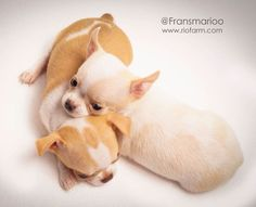 Chihuahua shorthair puppies - My Doggy Is Delightful