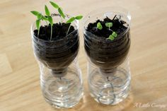 Growing Seeds Indoors. When frost threat is gone, place outdoors in pots or the ground. Use biodegradable containers such as egg cartons.