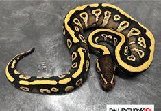 Mojave YB Pretty Snakes, Cool Snakes, Cute Reptiles, Reptiles And Amphibians, Python Royal, Python Regius, Ball Python Morphs, Pet Snake, Exotic Pets