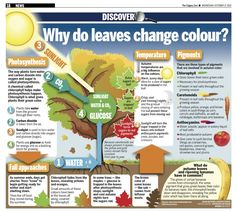 6 - Why Do Leaves Change Color kindergarten, Why Do Leaves Change Color and Fall ? Plant Science, Science Biology, Science Fair, Science Lessons, Teaching Science, Science Education, Science For Kids, Science Activities, Science Projects