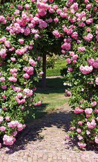 You can grow climbing roses over a rose arch or a simmilar support for ...