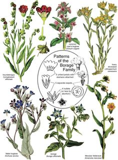 Botany in a Day (APG): The Patterns Method of Plant Identification. An Herbal Field Guide to Plant Families of North America