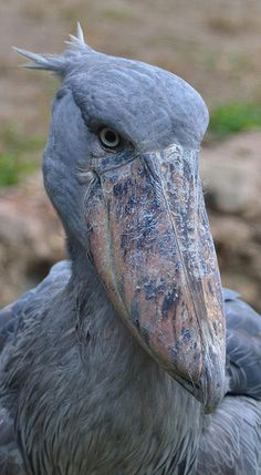 Shoebill Stork / Shoe-Billed Stork / Whale-Headed Stork