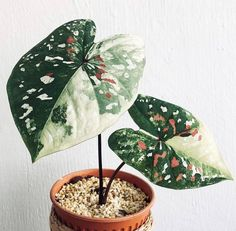 One of the most beautiful and colourful heart shaped leaves Cactus House Plants, House Plants Decor, Plant Decor, Garden Plants, Cactus Decor, Cactus Art, Ikebana, Indoor Garden, Indoor Plants
