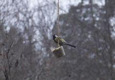 Vintern närmar sig och småfåglarna får allt svårare att hitta mat. Gör egna talgbollar och häng upp. Billigare och godare än köpebollar. Land har receptet.