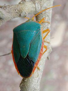 ˚Chinche azul / Blue shieldbug (Hemiptera)