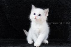 2016: Alagaesia A Zwollywood Cat. 8 Weeks old. Ragdoll kitten, blue bicolour. Eragon litter.
