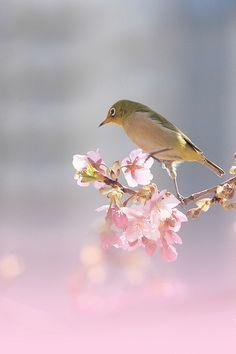a white eye tasting cherry blossoms