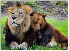 "according to the guy i stole this pic from, ""This lion and bear were confiscated from a drug dealer, along with a tiger friend. They are such good buddies that they are being allowed to stay together at a sanctuary."""