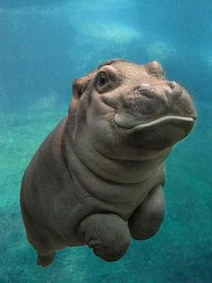 Baby hippo swimming!