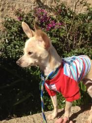 Mouse is an adoptable Chihuahua Dog in Costa Mesa, CA. Mouse is an adorable 4lb chihuahua that we rescued off the euthanasia list at a high kill shelter. He seems to like everybody he meets but initia...