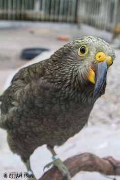 Juvenile (see the yellow colour) Kea birrd (parrot)