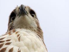 Photo Eye of the Hawk by Rob Needham on 500px