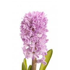 Lavender Hyacinth