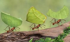 The case for insects such as ants becoming a major industrial food source is being taken seriously by governments, says the report. Photogra...