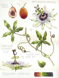 This is an original watercolour and pencil work on heavy (140lb) watercolour paper. It features Passiflora caerulea, commonly known as Passion