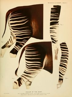 colour of the okapi (Okapia johnstoni) | Monograph Of The Okapi - Sir E. Ray Lankester, London, 1910