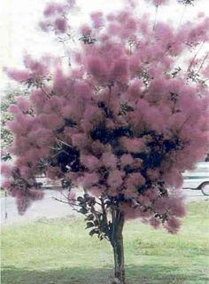 Blooming purple smoke tree/ JUST BECAUSE IT'S SO BEAUTIFUL!!!!  Perfect background for Butterfly Bush which attracts Butterflies and Hummingbirds.