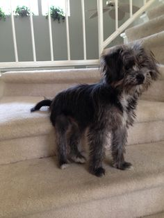 Puppy Bentley on stairs