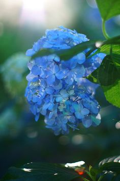 I would love to see this Hydrangea, Toshimaen, Tokyo. I really like the small blossoms and the colour is beautiful.