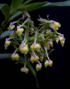 Epidendrum Pseudoepidendrum Unusual Flowers, Amazing Flowers, Beautiful Flowers, Orchid Plants, Exotic Plants, All Flesh Is Grass, Miniature Orchids, Purple Orchids, Orchidaceae