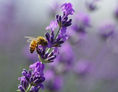 Possible Connection Between Roundup and Colony Collapse Disorder