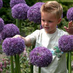 Onions in the flower garden? Cut Flowers, Pretty Flowers, Globe Flower, Purple Garden, Spring Bulbs, Fall Plants, Allium, Landscaping Plants, Carnations