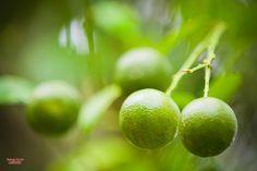 """Лайм - близкий родственник лимона. И хотя они очень похожи, этот маленький зеленый цитрус просто незаменим в некоторых салатах и коктейлях. И что немаловажно - во многом он полезнее, чем лимон. Самые распространенные сорта лайма - """"флоридский"""" и """"персидский"""", с крупными кислыми плодами, в которых мало или вообще нет косточек.     Свежий лайм должен быть крепким, с блестящей гладкой желтовато-зеленой кожурой. У него нежная, сочная и хорошо гранулированная мякоть с горьковатым вкусом."""