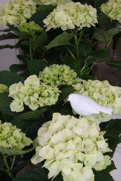 hydrangea Noblesse