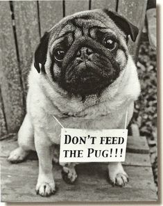 Pug DogPug Christmas SignThin Aluminium Sign For Christmas with a cute pug