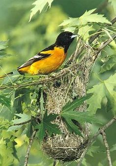 Baltimore Oriole  builds a finely woven nest