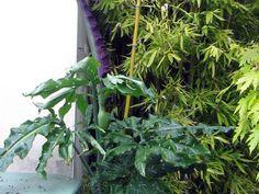 Serpentaire commune, Dracunculus vulgaris