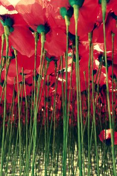 Under a forest of poppies.  They look beautiful from the top down, too.....that's for another day, and another board : )