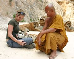 Tigers and Buddhist Monks Together in Thailands Tiger Temple