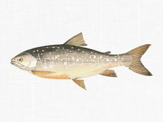 Fish Drawing  Arctic Char Fish Image 1862-1865  by AntiqueStock