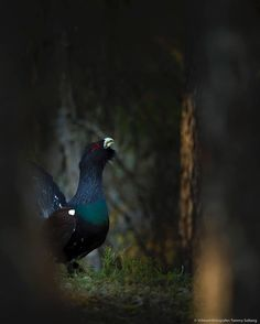 Capercaillie in the dark Forrest. The first lights are hitting the Forrest good morning. This image is dark so turn on the light.  _______________ Nikon D4s w 600 mm at f4 1/50 iso 3200 _______________ From my special capercaillie project _______________ Alle mine bilder kan kjøpes  by villmarksfotografen
