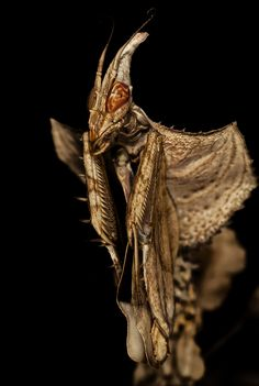 Idolomantis diabolica   by Carlos Del Pico (Carlitus91) Cool Insects, Bugs And Insects, Mirror Spider, Mantis Religiosa, Beautiful Bugs, Praying Mantis, Creature Feature, Micro Photography, Beautiful Creatures