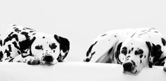 Dalmatians, Lottie and Lily | Flickr - Photo Sharing!