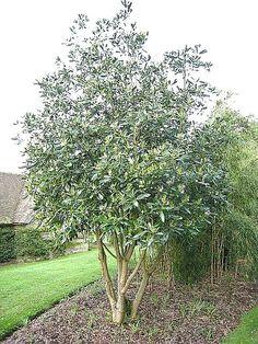 Drimys winteri , Canelo, arbol nativo chileno.