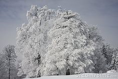 Photo about A group of trees covered in frost in a cloudy day. Image of frosty, trees, winter - 49384569 Cloudy Day, Frost, Trees, Stock Photos, Winter, Photography, Outdoor, Image, Winter Time
