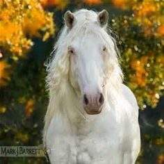 American White Draft Horse stallion 4 year old, Pretty Horses, Horse Love, Horse Ears, Magical Images, Friesian, Draft Horses, White Horses, Albino, Equine Photography