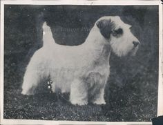 Custom label is These photos come from one of the largest collections of original news service photos. It is only used online to prevent image theft. as this is the best indication of condition. Sealyham Terrier, Press Photo, Antique Photos, Custom Labels, Cute Puppies, Collections, News, Antiques, Image