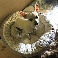 Hagerstown, Maryland - Chihuahua. Meet Sammy Chi, a for adoption. https://www.adoptapet.com/pet/20014039-hagerstown-maryland-chihuahua-mix