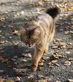 cats outside | Somali Cat Appearance